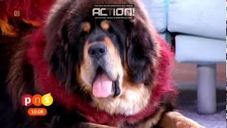 Download Mastify tybetańskie z Nam Kha w TVP - najdroższa rasa świata Video