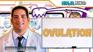 Download Female Reproductive Cycle | Ovulation Video