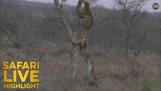 Download War In The Wild: Leopard Vs Hyena Video