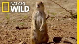 Download The Prairie Dog Life | Destination WILD Video