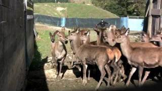 Download Deer Farming New Zealand Video