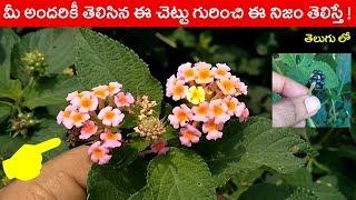 Download మీ అందరికీ తెలిసిన ఈ చెట్టు గురించి ఈ నిజం తెలిస్తే || #lantana camara || #talambralu chettu uses Video