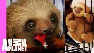 Download Bath Time for Baby Sloths | Too Cute Video