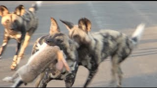 Download Wild Dogs Pull Apart Hare in The Road   Kruger National Park Video