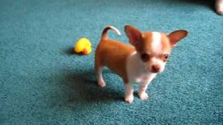 Download 9 week old Chihuahua puppy playing Video