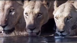 Download Lions attack elephant - Planet Earth - BBC Video