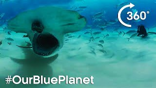 Download Hammerhead Sharks 360° | #OurBluePlanet | Earth Unplugged Video