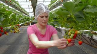 Download Tiptree New Growing System (NGS) Innovative Strawberry Growing Technology Video