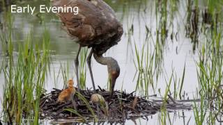 Download Sandhill Crane Nest - One Day After First Colt Hatches Video