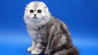 Download 10 самых дорогих пород кошек Video