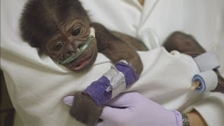 Download Baby gorilla critical with pneumonia after emergency caesarian section in San Diego Zoo Video