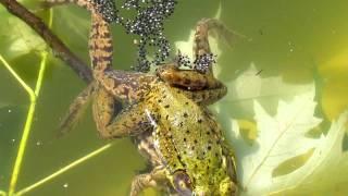 Download Frogs Fertilizing Eggs Video