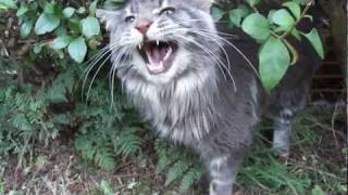 Download Titus the talking Maine coon cat and his favourite bush Video