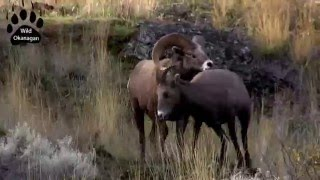 Download Wild Okanagan California Bighorn Rut Video
