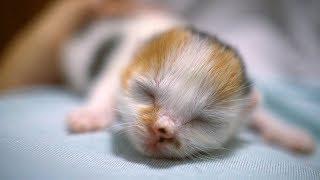 Download 一隻小奶貓朝你撲來!【芋圓出生第7天】 Video