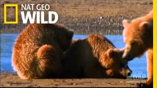 Download Saving Cubs from their Dads   Nat Geo Wild Video