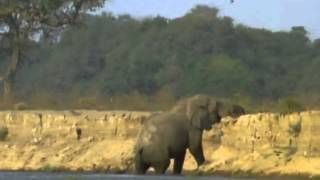 Download BBC Natural World 1998 Vanishing Pools of the Zambezi Video