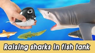 Download [EN] #66 Let's raise sharks in my fish tank! kids education, marine animals animationㅣCoCosToy Video