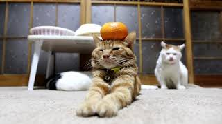 Download のせ猫 x みかん乗せ茶トラ Cat and orange 2018#2 Video