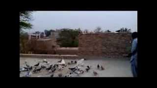 Download zabi kabootar baz D I Khan Video