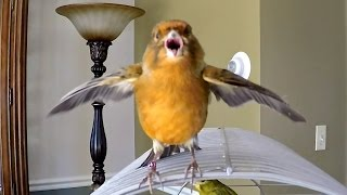 Download Canary Bird chirping singing being funny Video