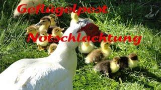 Download Geflügelpest Vogelgrippe Notschlachtung Stallpflicht Flügel stutzen H5N8 Video