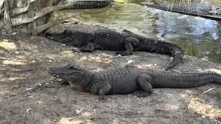 Download Alligator Swamp and Spoonbills Cam 09-18-2018 10:15:45 - 11:15:45 Video