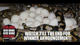 Download Giant Python Lays Massive Clutch of Huge Eggs for a Big Win Video