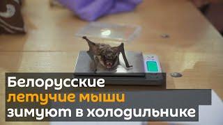 Download Белорусские летучие мыши зимуют в холодильнике Video