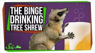 Download This Binge-drinking Tree Shrew Could Probably Outdrink You Video