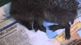 Download Ein kleiner Igel träumt Video