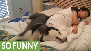 Download Husky tries waking owner, ends up snuggling him Video