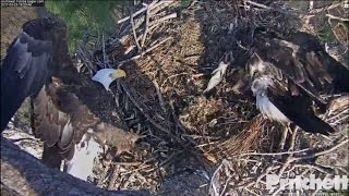 Download SWFL Eagles ~ Dinner Arrives, E9 Sleeps Alone in Nest Tree 3.23.17 Video