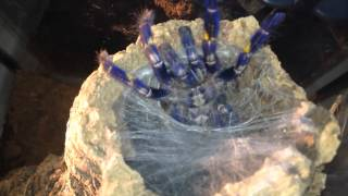 Download Gooty Sapphire Ornamental (Poecilotheria Metallica) feeding Video
