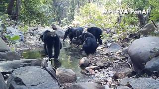 Download Chimpanzees fishing for algae with tools in Bakoun, Guinea (PanAf) Video