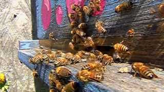 Download Honey Bees Landing Slow Motion with Pollen and Nectar Video