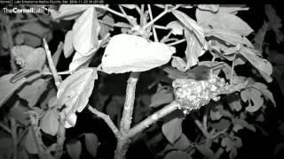 Download Nido de Picaflor - Nest of hummingbird Video