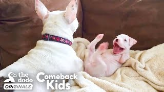 Download Nubby The 2-Legged Boxer Steals His Dad's Heart | The Dodo Comeback Kids Video