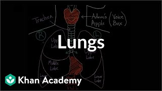 Download Meet the lungs   Respiratory system physiology   NCLEX-RN   Khan Academy Video