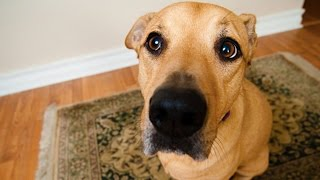 Download Funny Dogs Begging for Food [Funny Pets] Video