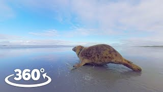 Download Rehabilitated Seals Released Back Into The Wild - VR Experience Video