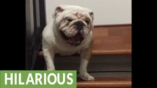 Download Bulldog argues with owner about going down the stairs Video