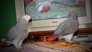Download Cute Birds 🐦🐦 Funniest Parrots Ever (Part 1) [Funny Pets] Video