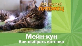 Download Как выбрать котенка породы мейн кун Video
