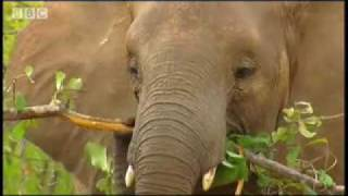 Download Elephants enjoying the rain - BBC wildlife Video
