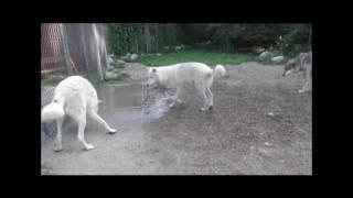 Download International Wolf Center- Observational Opportunities - 2 August 2017 Video