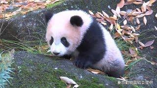 Download 屋外運動場で遊ぶパンダのシャンシャン、生後半年に 上野動物園 Video