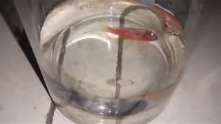 Download #Zebra #Fish Effect of convulsive drug - pentylenetetrazole on Zebrafish #Like Video