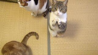 Download おやつちょうだい!可愛い猫のおねだり Cute Cat Begging for Fish Treats Video