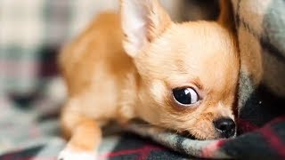 Download SMALLEST Cute Dogs in the World Video
